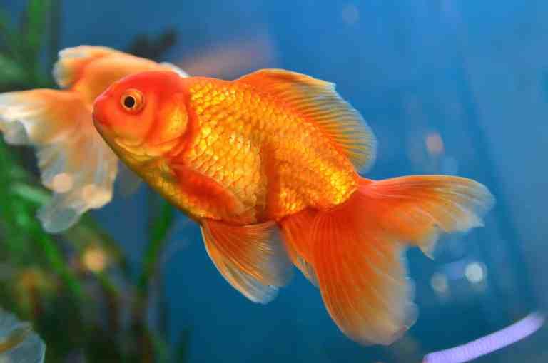 orange fancy goldfish swimming in best goldfish tank