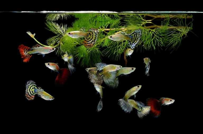Best tanks for guppies means happy and healthy guppies