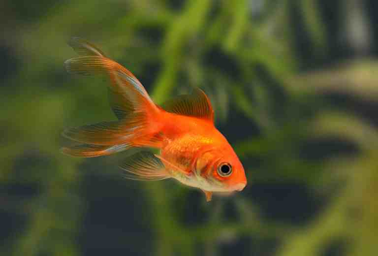 Finding the best goldfish tank for your fish