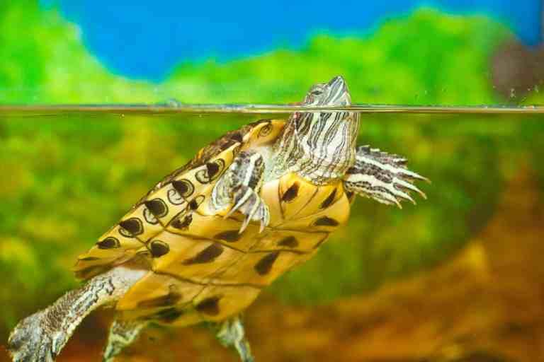 red-eared slider in turtle tank
