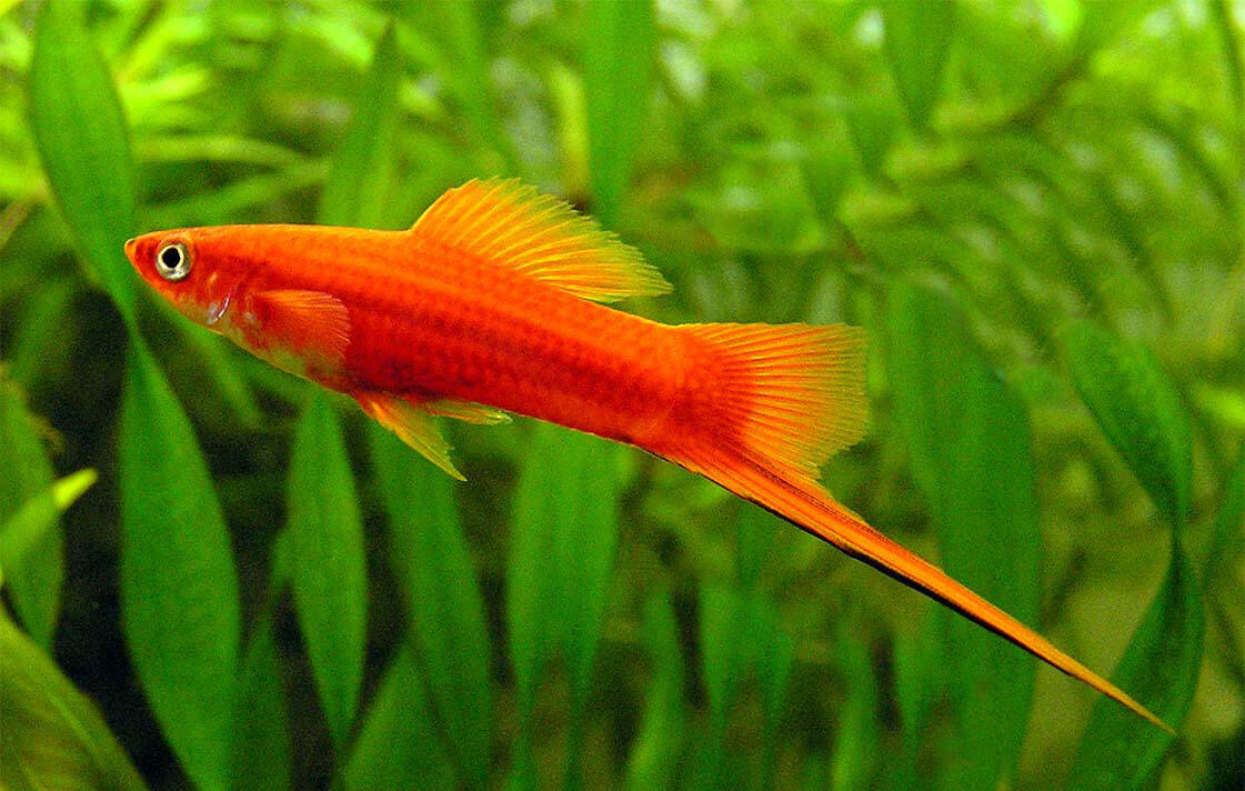 Fish for aquarium with name - Swordtails Xiphophorus Hellerii Are Another Aquarium Fish That Has Grown In Popularity Over The Years Their Name Comes From The Sword Like Projection On