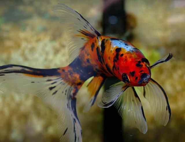 Shubunkin goldfish perfect guide for beginners aquascape for Shubunkin fische