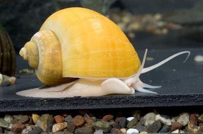 Yellow apple snail