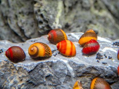 Racer Nerite Snail
