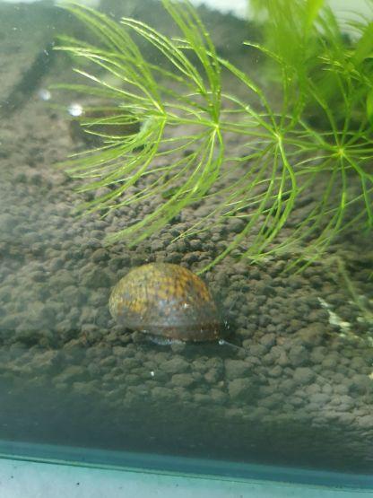 brown patterned helmet snail