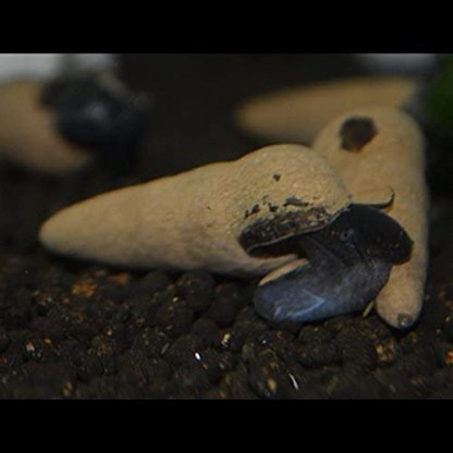 chocolate poso rabbit snail (tylomelania perfecta)
