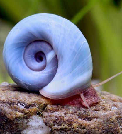 Blue ramshorn snail