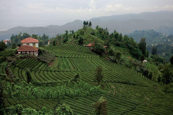 حديقة الشاي فى طرابزون
