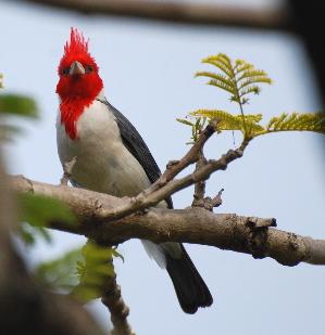 طيور جزيرة كاواي