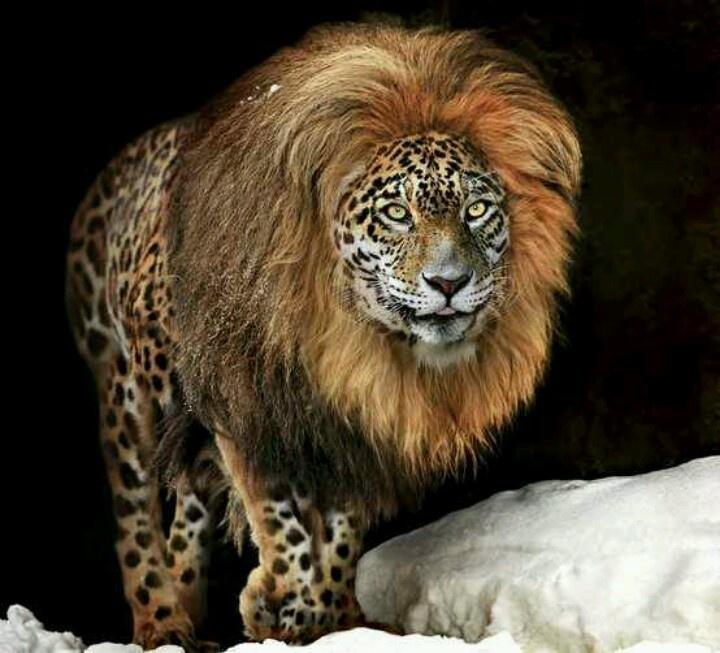 اسد نادر فصيلة من الحيوانات المفترسة