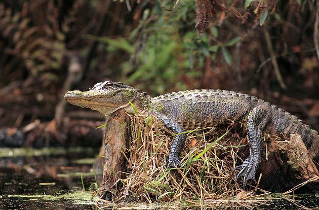 متنزه Okefenokee Swamp