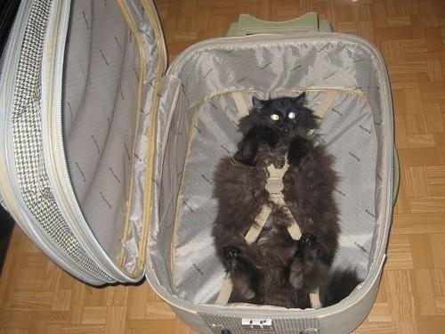 اعتياد القط على السفر
