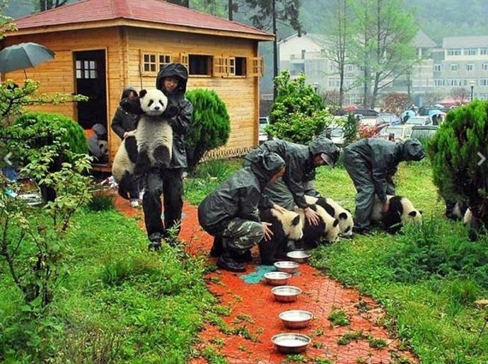 الباندا الصينية