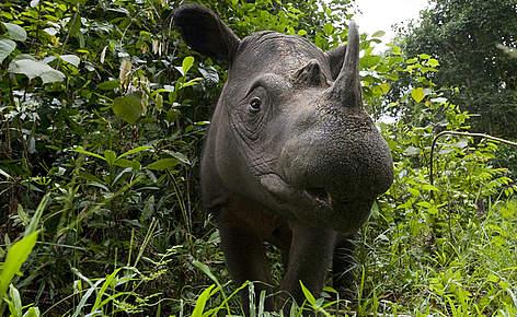 وحيد القرن السومطري