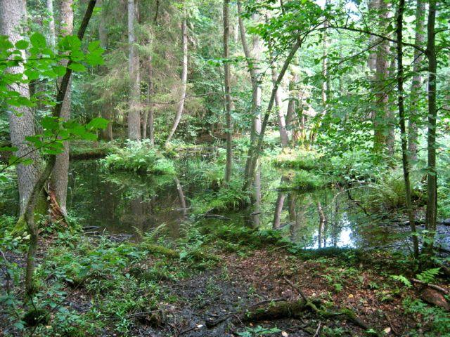 غابة بياوفجا بولندا