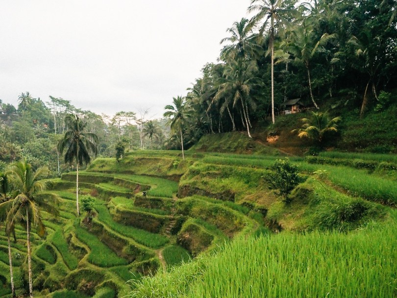 حقول الأرز فى بالى
