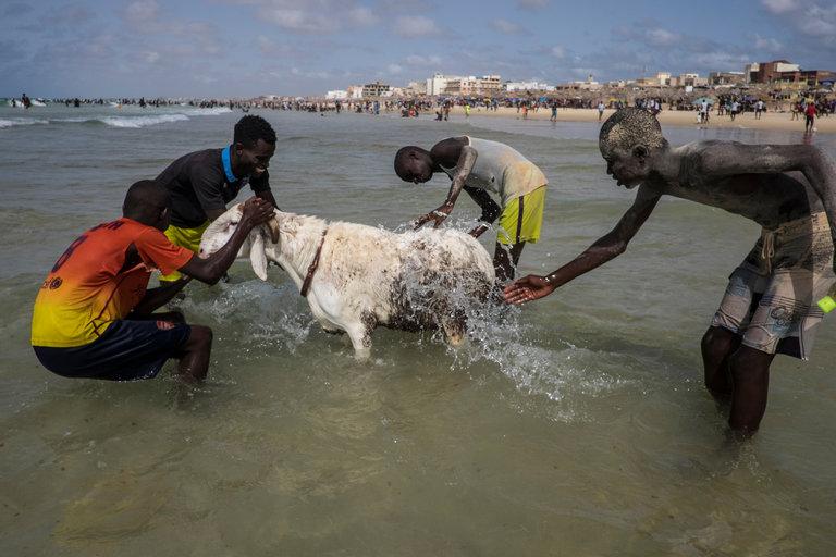 الاغنام فى السنغال