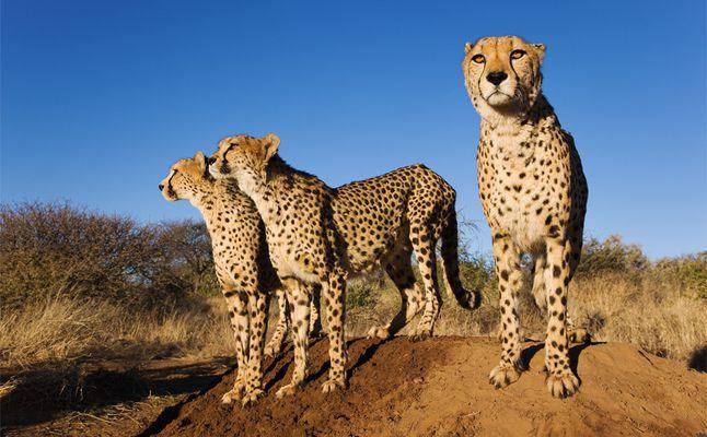 فهود ناميبيا