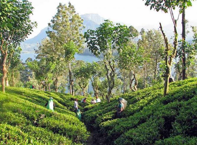 الاماكن السياحية في كاندي حدائق الشاي