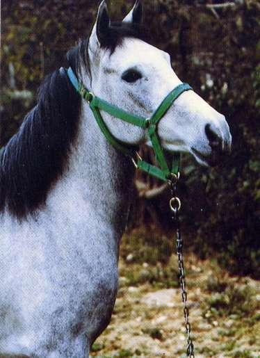 The Ancestors Of All Fine Horses - The Magnificent Arabian
