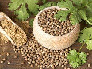 Fresh Coriander - An Exotic Herb Since Antiquity