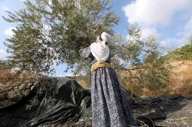 Olive Groves in the West Bank Have Become a Battleground. That's Why Volunteers Come From Around the World to Help at Harvest Time
