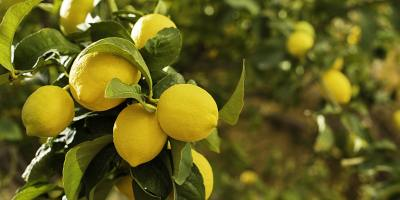 Book Discussion - The Lemon Tree - New Narratives Community