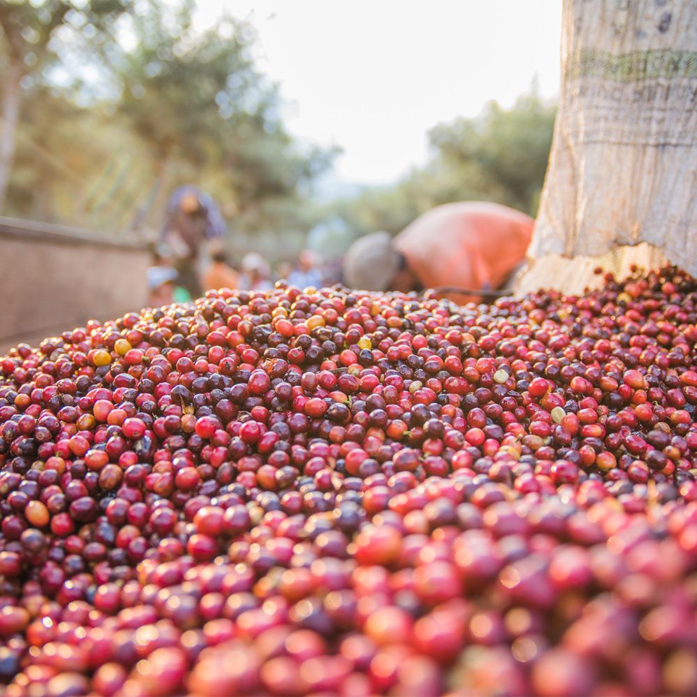 Arabica koffiebonen verwerken na de oogst