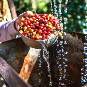 Oogsten van arabica koffiebonen