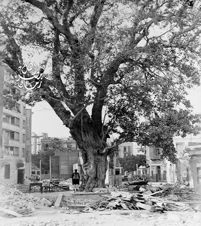 تحت هذة الشجرة قام سليمان الحلبي باغتيال كليبر سنة 1800، وقتها كان قصر محمد بك الألفي الذي استولت عليه الحملة الفرنسية، ثم تحول إلى مدرسة للألسن في عهد محمد علي، ثم أصبح فندق شبرد القديم حتى احترق في عام 1952 في حريق القاهرة