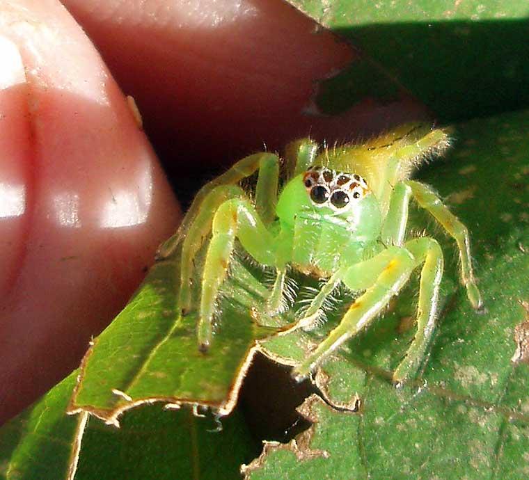 Mopsus mormon Northern Green Jumping Spider