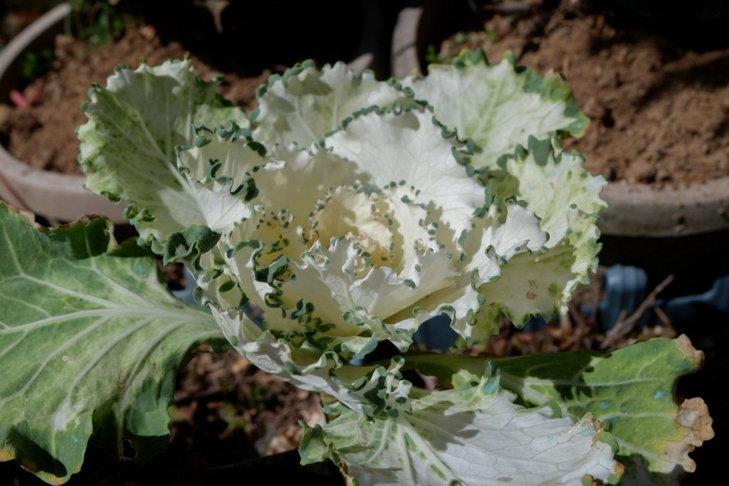 """ALT=""""flower cabbage on the mountain"""""""
