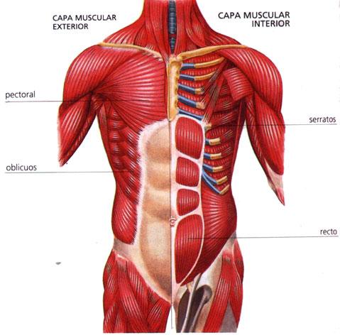 Músculos Torax | Anatomía Sistemica