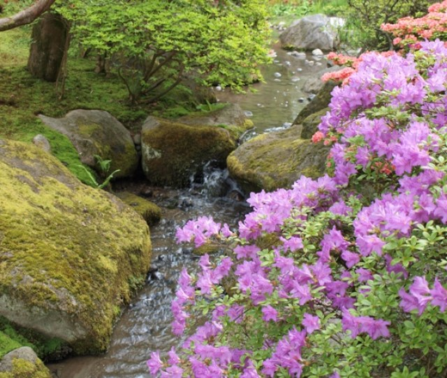 Seattle Japanese Garden Azaleas