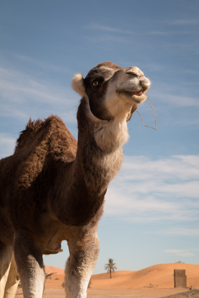 camel eating grass with blue sky and dunes behind, camel, arboursabroad