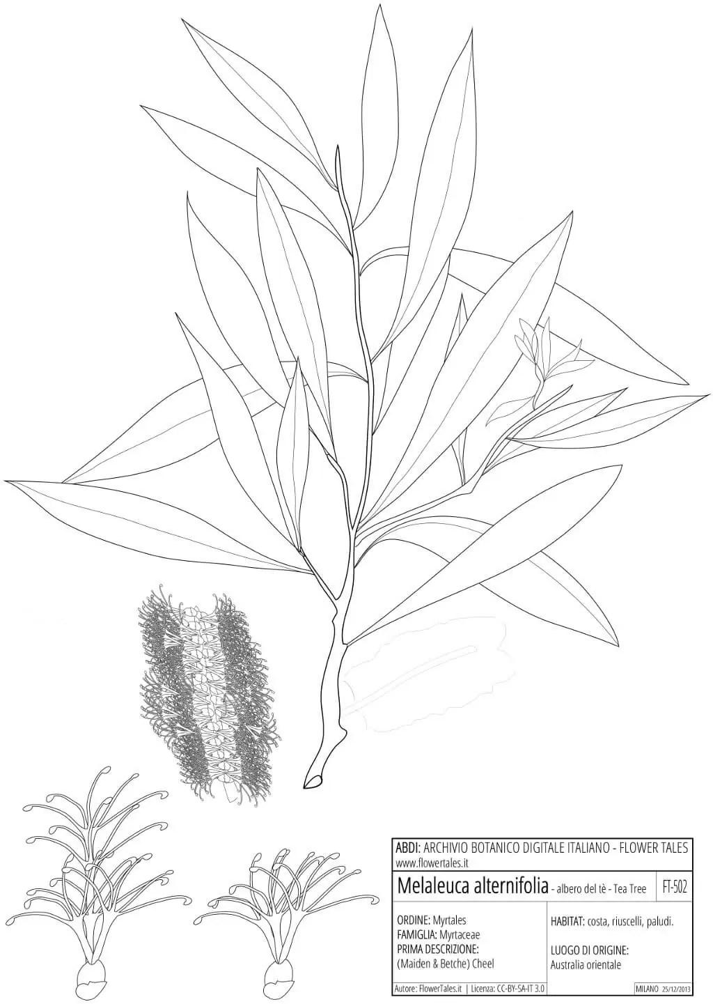 planche botanique teatree