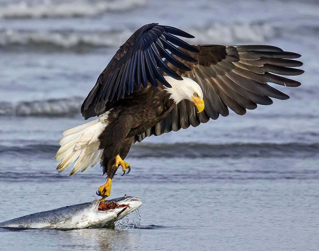 Bald Eagle Vs Wedge Tail Eagle