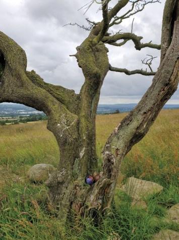 Pendle Lancashire Hawthorn Tree