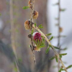 Er tut den Lärchenblüten nichts…<br/> È tornato l'inverno…<br/>Winter is back…