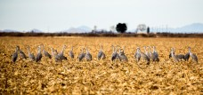 Sandhill Cranes having a meeting