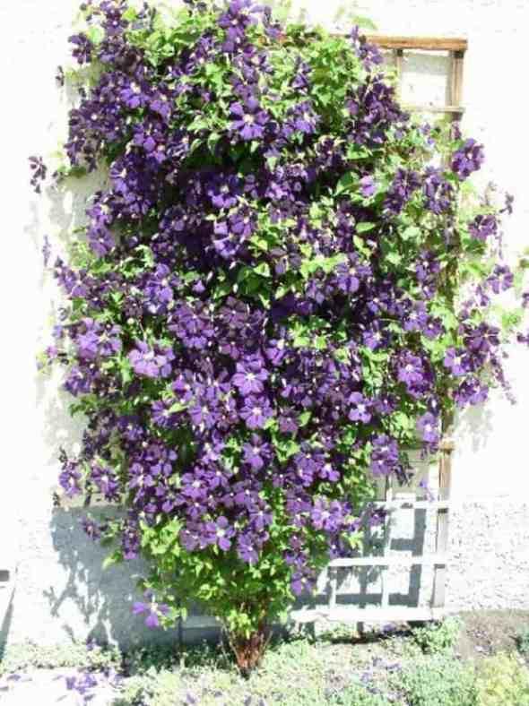Clematis Etoile Violette (perennial vine)