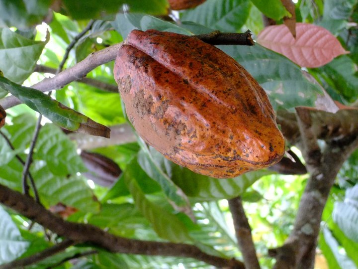 Dominican Republic - Cocoa Pod