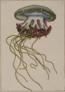 Calcografía iluminada de una medusa, ACN110B/002/04779.