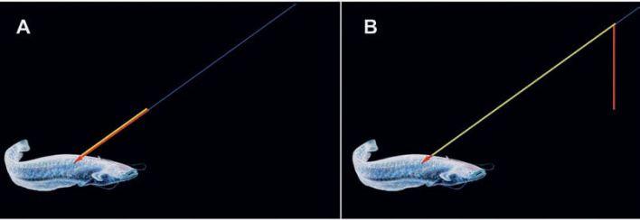 La freccia colpisce e penetra il siluro: la sagola (gialla) è sovrapposta ed adiacente alla freccia (rossa). L'insieme è collegato alla lenza (blu). Nel momento in cui il siluro cerca d'inabissarsi viene contrastato con forza trattenendo la lenza (blu), l'asta si svincola dalla punta della freccia (rossa), la sagola (gialla) si distende, con il risultato che la punta della freccia resta infissa nel pesce mentre l'asta fuoriesce e pende inattiva all'attaccatura della lenza.