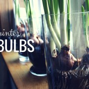 A bright idea for winter – BULBS!
