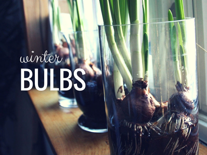 ARCTICdeco.com: Winter Bulbs