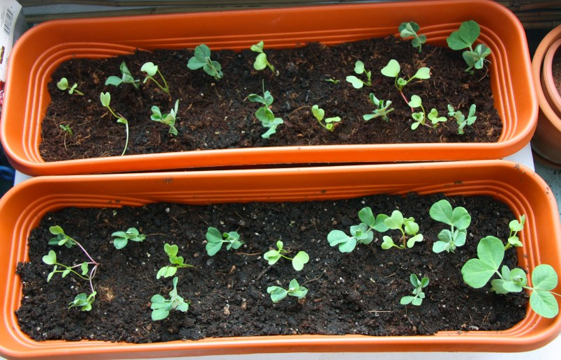 ARCTICdeco_pea_and_radish_sprouts