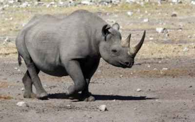 Black vs White – Know your Rhinos