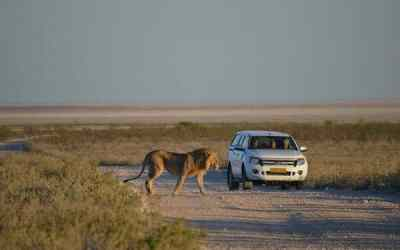 The Lions of Namibia