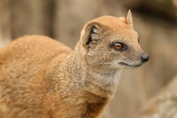 Wildlife of Namibia – The Yellow Mongoose aka Red Meerkat